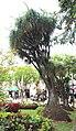 Beaucarnea recurvata Funchal Jardim Municipal Madeira 2016 3.jpg
