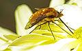 Bee-fly on chrysanthemum (16267412388).jpg