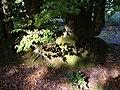 Beech, Buller's Hill - geograph.org.uk - 239577.jpg