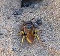 Beewolf. Philanthus species. Sand Wasp (32765946350).jpg