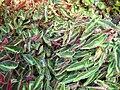 Begonia listada-IMG 1280 rbgs10dec.jpg