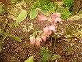 Begonia metallica.JPG
