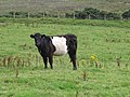 Belted Galloway - geograph.org.uk - 921654.jpg