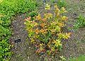 Berberis aquifolium 'Orange Flame' (Mahonia aquifolium) - Hillier Gardens - Romsey, Hampshire, England - DSC04335.jpg