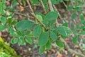 Berberis silva-taroucana in La Jaysinia (3).jpg