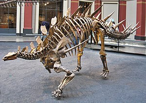 Hans Reck - Skeleton of a Kentrosaurus, a member of the Stegosauria, found in the Tendaguru Formation (Museum für Naturkunde, Berlin)