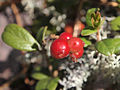 Berries on Sammalistonkallio.jpg