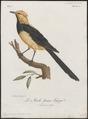 Bessonornis melanictera - 1796-1808 - Print - Iconographia Zoologica - Special Collections University of Amsterdam - UBA01 IZ16300361.tif
