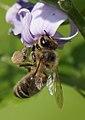 Bienen sammelt Vorrat.jpg