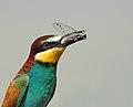 Bijeneter - Merops apiaster 03.jpg