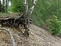 Birch Livin' on the Edge - panoramio.jpg