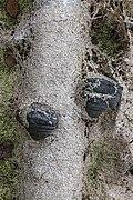 Birch polypore - Трутовик берёзовый 2.jpg