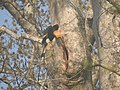 Bird Great Hornbill Buceros bicornis at nest DSCN9018 09.jpg