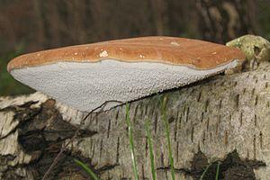 Fomitopsis betulina - Image: Birkenporling 3240