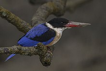 Black-capped Kingfisher Sundarbans West Bengal India 30.12.2014.jpg