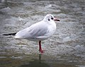 Black-headed gull (32358514204).jpg