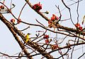 Black-naped Oriole Oriolus chinensis Mumbai by Dr. Raju Kasambe (1).jpg