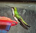 Black-throated Mango. Anthracothorax nigricollis - Flickr - gailhampshire.jpg