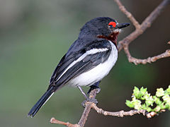 Black-throated Wattle-eye female RWD.jpg
