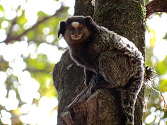 Black-tufted marmoset Belo Horizonte Zoo 3.jpg