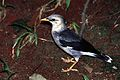 Black-winged Myna (Acridotheres melanopterus) (7937211058).jpg