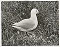 Black Billed Gull at nest. (Larus bulleri) Maori name Tarapunga (2).jpg