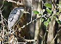 Black Crowned Night Heron in Corkscrew Wildlife Sanctuary (31813165024).jpg
