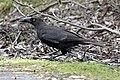 Black Currawong (Strepera fuliginosa) (31267858552).jpg