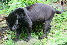 A Melanistic Jaguar Is A Color Morph Which Occurs At About 6 Percent  Frequency In Populations