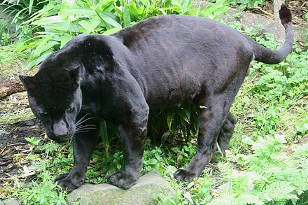 A melanistic jaguar is a color morph which occurs at about 6 percent frequency in populations Black Jaguar (Panthera onca).JPG