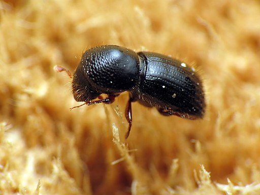 Black Stem Borer - Flickr - treegrow