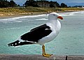 Black backed gull. (15774943241).jpg