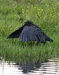 Black heron, Egretta ardesiaca, at Marievale Nature Reserve, Gauteng, South Africa (29612887194).jpg
