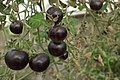 Black tomatoes and red chilis grown in Koye, in the Kurdistan Region of Iraq 02.jpg