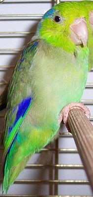 Blaunacken-Sperlingspapagei ♂ (Forpus coelestis)