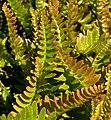 Blechnum microphyllum 3.jpg