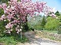 Blossom, Cleveley, Oxfordshire. - geograph.org.uk - 412307.jpg