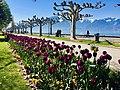 Blossoms and Platanus trees by lake Geneva.jpg