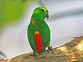 Blue-crowned Hanging Parrot RWD.jpg