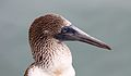 Blue-footed booby (Sula nebouxii) on Santa Cruz, Galápagos Islands.JPG