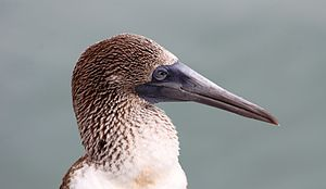 Blue-footed booby - Neck and head of a blue-footed booby showing distinctive coloring and beak
