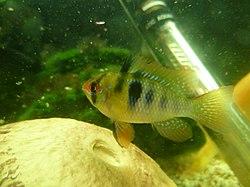 Une femelle dans un aquarium.