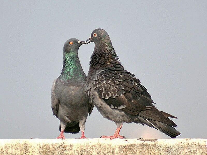 Blue Rock Pigeon I4 IMG 3038