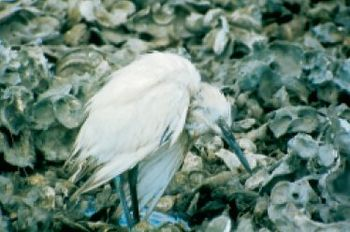 An immature blue heron with psittacosis
