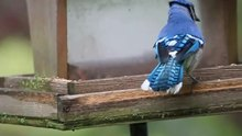 Attēls:Blue jay - nut cracking.ogv