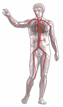 Schema della circolazione sanguigna negli esseri umani con rappresentazione del cuore, della piccola circolazione e della grande circolazione: il colore rosso indica sangue ricco di ossigeno, mentre il blu denota sangue scarsamente ossigenato