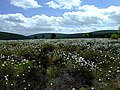 Bog Cotton very close to the Struie Road - geograph.org.uk - 437485.jpg
