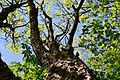 Boholiuby Lutskyi Volynska-Pershotravnevyi park-Phellodendron amurense-2.jpg