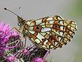 Boloria selene, Small Pearl-bordered Fritillary, Crafnant, North Wales, June 2010 - Flickr - janetgraham84.jpg