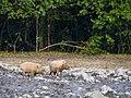 Bornean Bearded Pig (15025851592).jpg